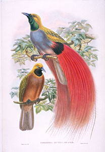 grey-chested bird of paradise